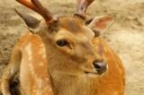 奈良の鹿・ナナメ3
