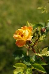 バラ 花(万博公園)・赤と黄色8