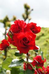 バラの花・紅3