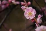 梅の花14