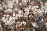 明日香村・石舞台の桜10