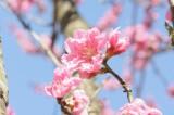明日香村・石舞台周辺の桜