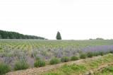ラベンダー畑(オカムラサキ)