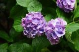 アジサイの花・紫2