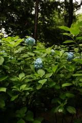 アジサイ 花・青・薄紫10