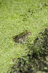 水田・蛙2