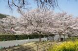 明日香村・石舞台の桜27