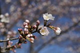 明日香村・石舞台の桜16