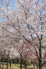 大阪・富田林市 桜