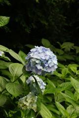 アジサイの花・青・薄紫9