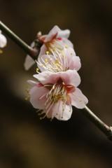 梅の花24