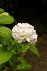 アジサイの花・白3
