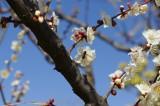 梅の花・枝4