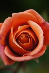 バラの花 赤・オレンジ1