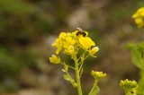 菜 花とハチ2