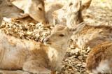 奈良の鹿・複数・振り向き