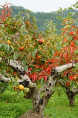 紅葉 柿の木