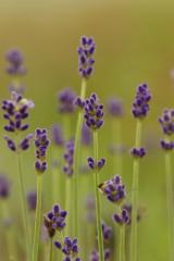 ラベンダー(濃紫)5