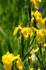カキツバタの花・黄色2