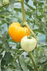 未熟なトマト 実(緑・オレンジ)
